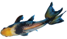 Blackwater Creek Specialty Goldfish