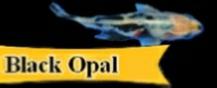 Black Opal Goldfish Information