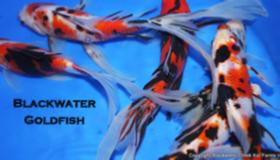 Blackwater Creek Goldfish