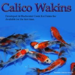 Blackwater Creek Calico Wakin Goldfish
