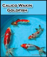Calico Wakin Goldfish
