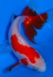 Elegant Fan-Tail Goldfish