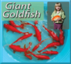Giant Red Goldfish