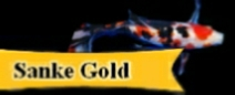 """Sanke Gold"" Goldfish  Information"