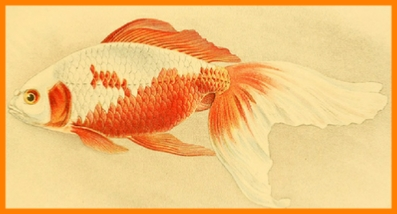 Watonai Goldfish Illustration